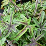 Tiarella Candy Striper close up of foliage in Summer