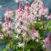 Tiarella Morning Star close up of flowers