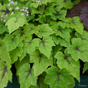 Tiarella Pirates Patch close up of foliage in Spring