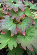 Mukdenia Crimson Fan foliage before it changes to red.