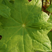 Close up of leaves on Petoboykinia