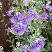 Polemonium Snow and saphire close up of flowers