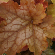 Heuchera 'Silver Heart' in Summer close up of the markings on the leaf