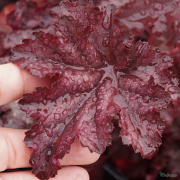 Heuchera 'Amethyst Mist' Close up of leaf against my hand to give idea of size