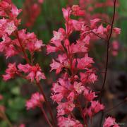 Huge flower stems with massive flowers for a heuchera on Heuchera 'Corallion'