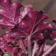 Heuchera 'Silver Celebration' close up of the underside of the foliage, showing the purple -red colour