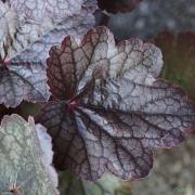 Close up of Heuchera 'Slaters Pink' foliage