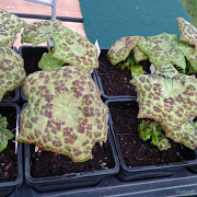 P. Spotty Dotty sales plants in the spring.