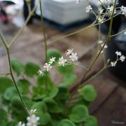 Dainty sprays of white flowers