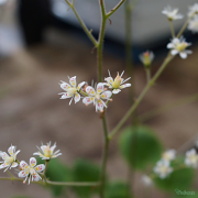close up of the dainty flowers