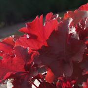 Heuchera Autumn glow basking in the sunshine