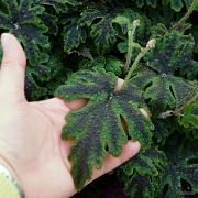 Large leaves on Emerald Ellie