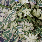 Close up of the foliage on Polemonium 'Stairway to Heaven'