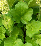 Close up of the small neat foliage on Heuchera Blondie in Lime
