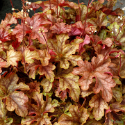 Heuchera 'Autumn Cascade' in Spring