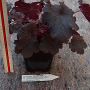 The ruler shows the size of a typical Cajun Fire plant
