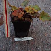 Heuchera Zipper sample of pot and plant that will be shipped