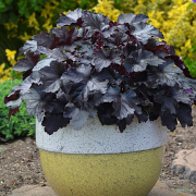 Heuchera 'Black Pearl' looks great during summer growing in a pot