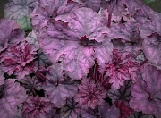 Heuchera 'Violet Shimmer' TM (Fox Series) foliage in early Spring