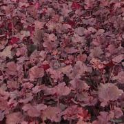 Heuchera 'Frilly Lizzie' TM (Fox Series) Sale plants in Spring growing on our nursery