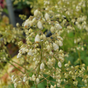 Heuchera White Spires after the rain close up on the flowers