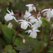 Pretty pure white flowers of Epimedium 'Niveum'