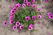 Geranium Jolly Jewel Night is a small neat free flowering geranium