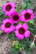 Geranium Jolly Jewel Night pretty free flowering, small neat and compact.