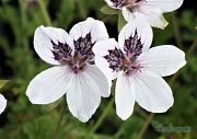 close up of Erodum guttatums pretty flowers
