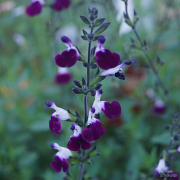Close up of Salvia Amethyst Lips which flowers all summer long.