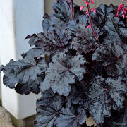 Heuchera 'Timless Night' close up of glossy foliage.