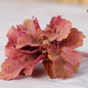 Heuchera 'Frilly' single leaf