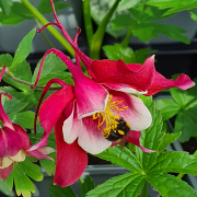 Aquilegia Red Hobbit loved by the bees