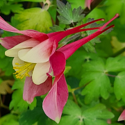 Aquilegia Red Hobbit showing her lovely long spurs, from the side you can see why they're called Grandmas bonnets