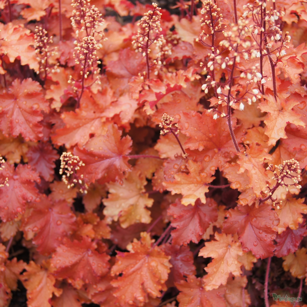 heuchera 39 peach crisp 39 from the chelsea gold medal winning nursery plantagogo. Black Bedroom Furniture Sets. Home Design Ideas