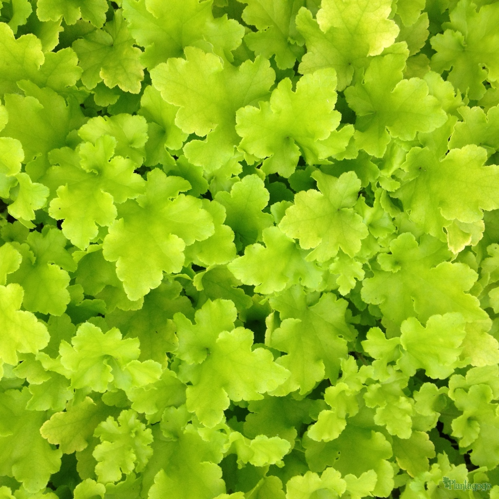 heuchera 39 lime marmalade 39 from the chelsea gold medal. Black Bedroom Furniture Sets. Home Design Ideas