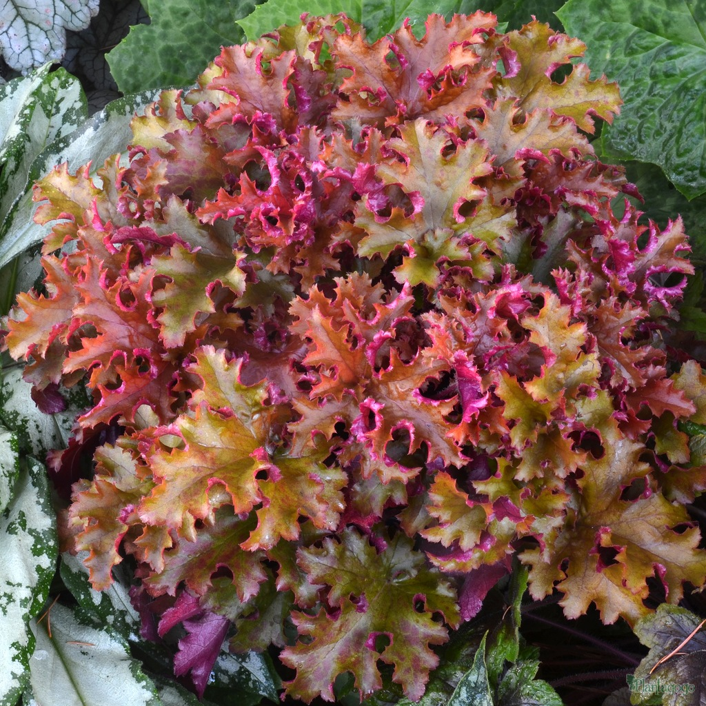 heuchera 39 zipper 39 from the chelsea gold medal winning nursery plantagogo. Black Bedroom Furniture Sets. Home Design Ideas