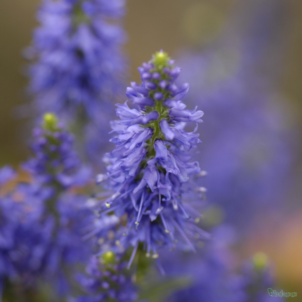 Veronica Inspire Deep Blue From The Chelsea Gold Medal