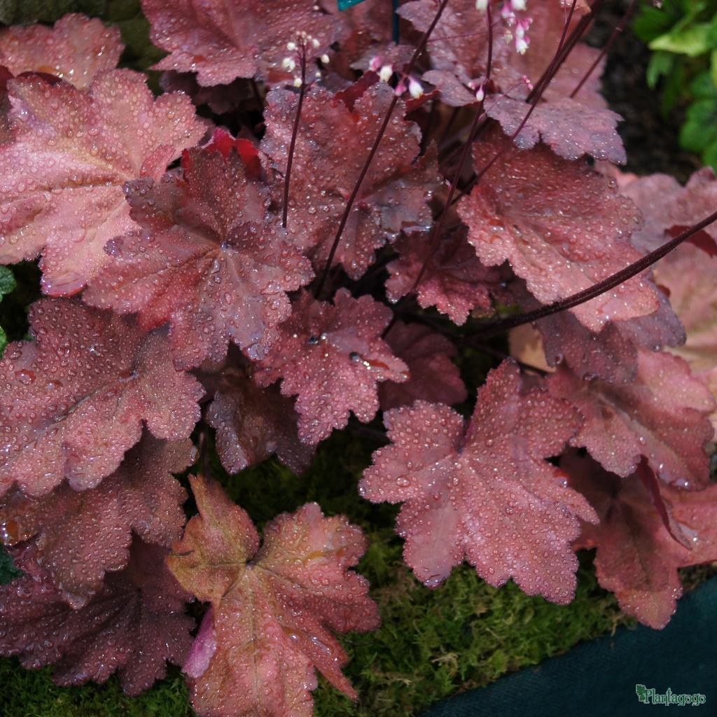 Heuchera Autumn Leaves From The Chelsea Gold Medal