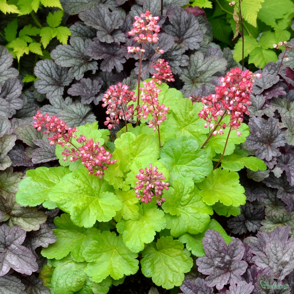 specialist growers of heucheras