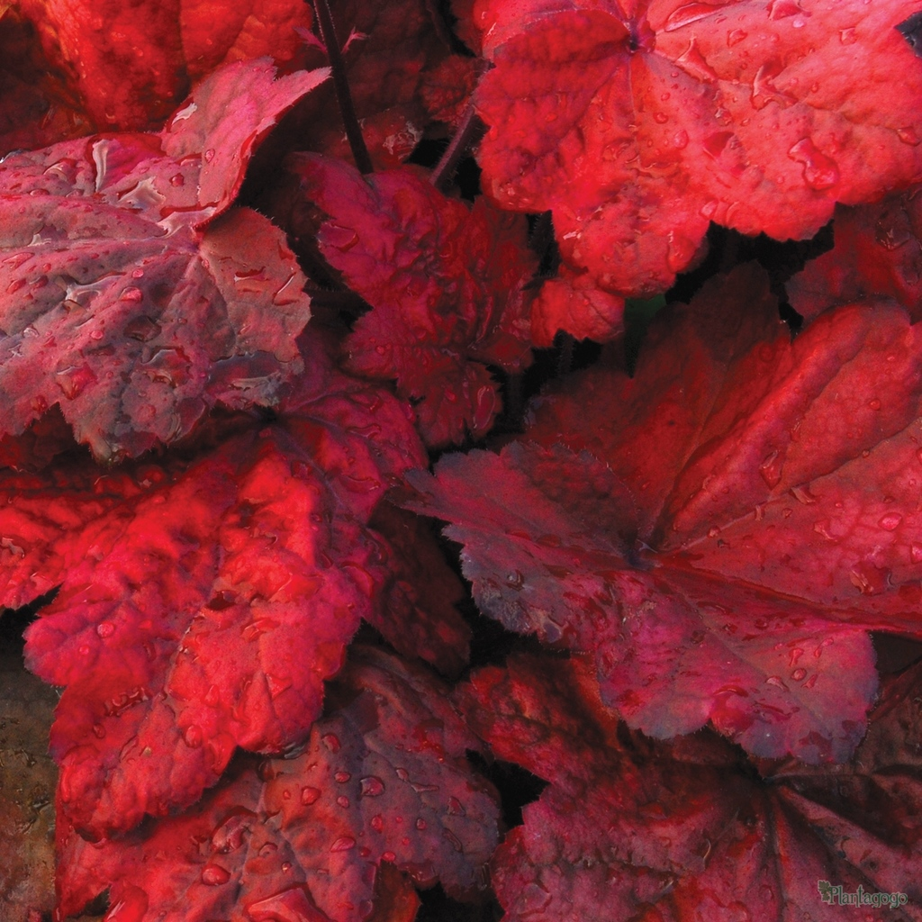 Heuchera Autumn Leaves From The Chelsea Gold Medal