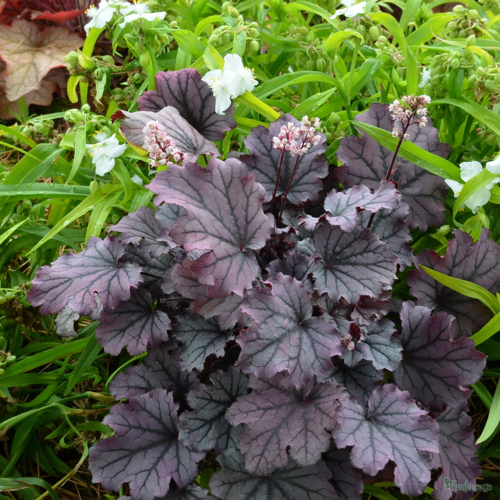 Heuchera Sugar Berry From The Chelsea Gold Medal Winning