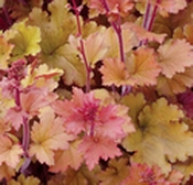 Mixed starter pack x 10 different heucheras - Suitable for sun