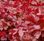 Mixed starter pack x 6 different Heucheras - Suitable for sun