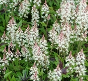 Tiarella x 10 mixed box all different - Suitable for shade
