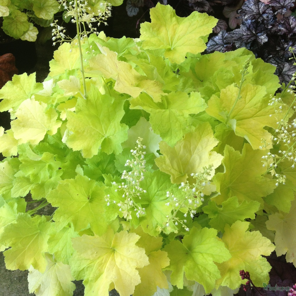 heuchera 39 citronelle 39 from the chelsea gold medal winning. Black Bedroom Furniture Sets. Home Design Ideas