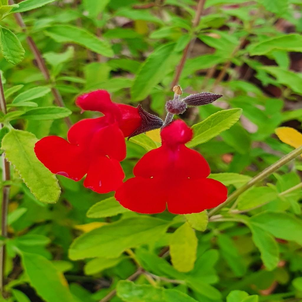 Salvia greggii 'Radio Red'