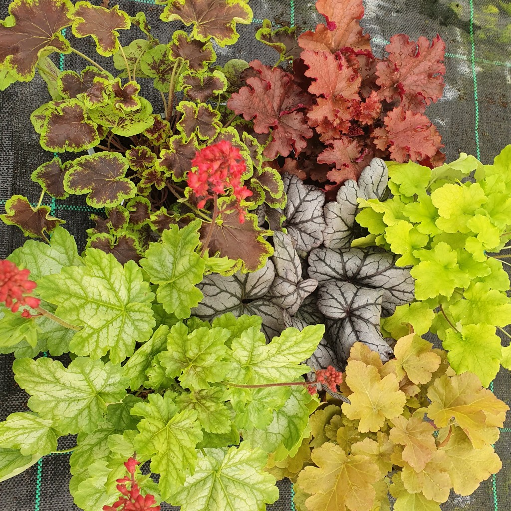 Heuchera & Heucherella Halloween Treat Collection