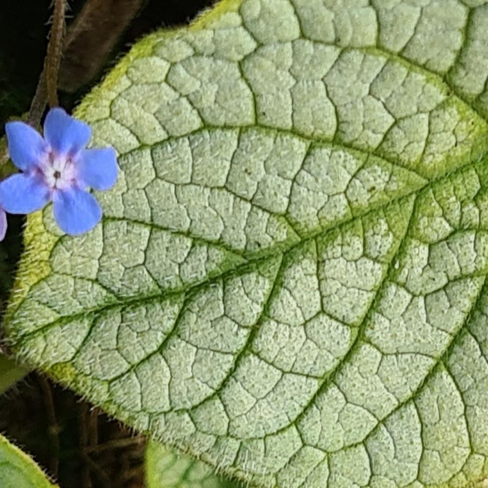 Brunnera macrophylla 'Jack's Gold'