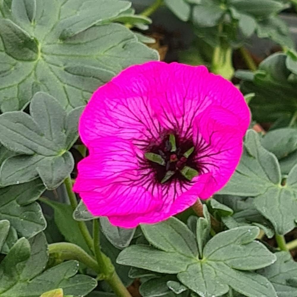 Geranium 'Jolly Jewel Pink'